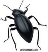 black beetle cast